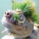 """Green-Haired Turtle That Breathes Through Its Anus is disappearing """"and it's good"""" admits WWF"""