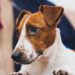 Jack Russells tied to increased heart failure rates in owners